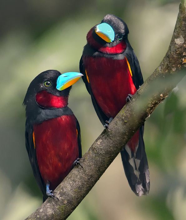 Black and Red Broadbill Pair - These birds are  found in Brunei, Cambodia, Indonesia, Laos, Malaysia, Myanmar, Singapore, Thailand, and Vietnam ~ by  Harprit Singh