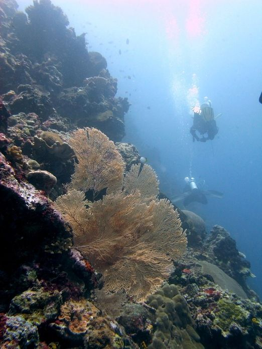 Bunaken's Lekuan wall: The wall is dense with coral and fish such as Napoleon Wrasse and critters such as the orangutan ...
