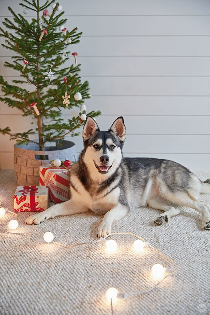 Consider your pet an important member of the family? Then don't forget to take your holiday pet photos! Here are tips from our Hallmark photo stylists to help you take the perfect pet photos for Christmas right in your own home. These can even be fun gift ideas for the animal lovers in your life!