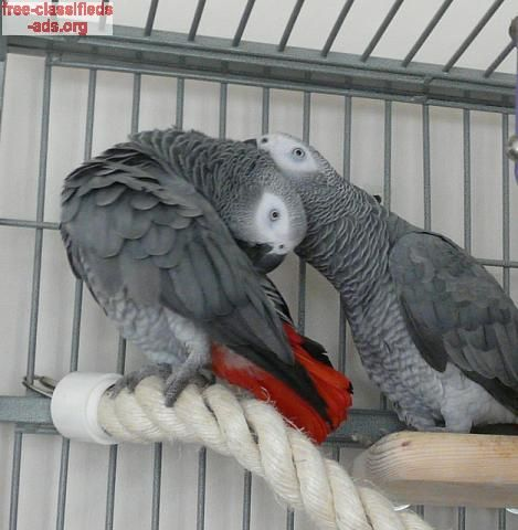 free-classifieds-ads.org - African Grey Parrots For Adoption