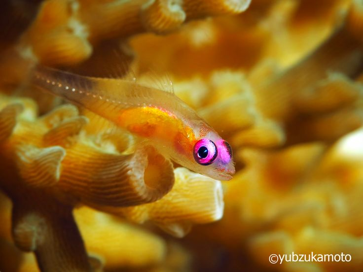 Pink Eye Goby south bolaang mongondow regency north sulawesi - indonesia