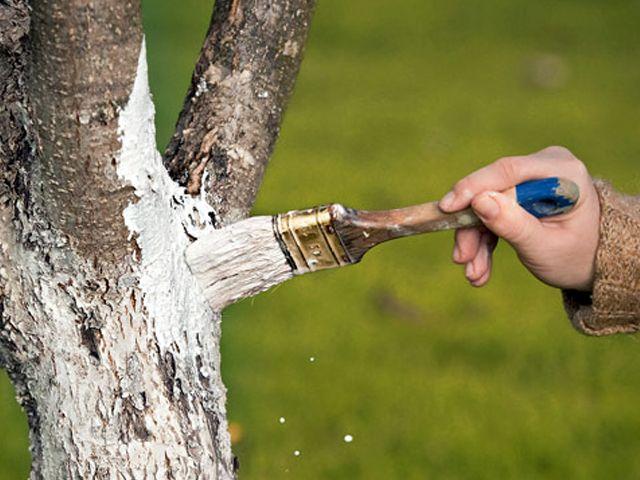 Как залечить кору дерева Глина прекрасно защищает стволы от солнца, мороза и суховеев и при этом не закупоривает поры на коре, позволяет растениям дышать. Коровяк склеивает глину и не дает ей отпадать. А кроме того, содержит массу питательных элементов и биоактивных веществ.  Можно добавить в эту смесь немного извести и железного купороса. Это хорошая профилактика от болезней, а еще и красота - такая «побелка» имеет необычный желтовато-салатовый оттенок и на стволах смотрится очень эффектно.