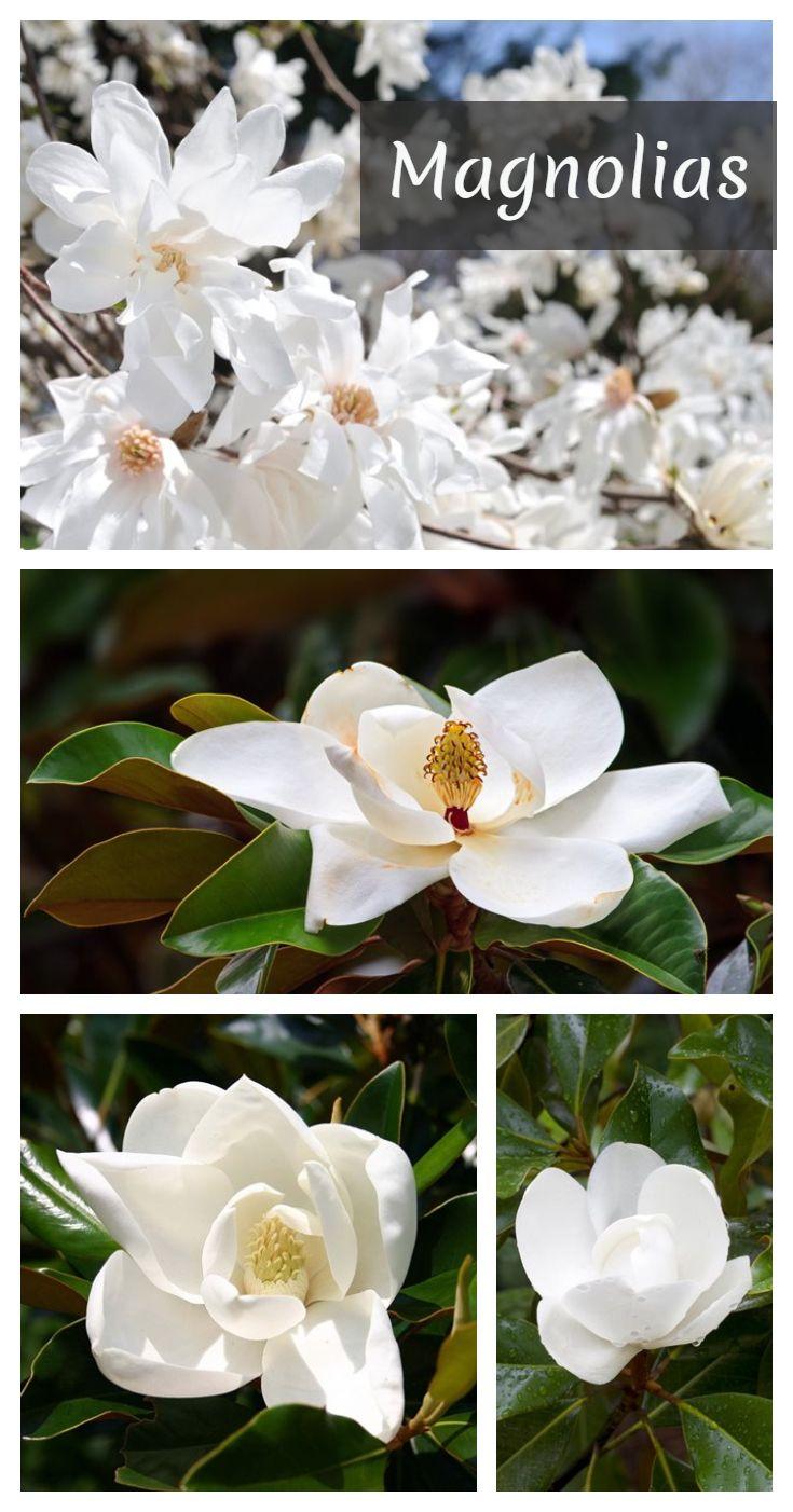 Magnolia Trees Magnolia Tree Types Flowering Trees Magnolia Trees