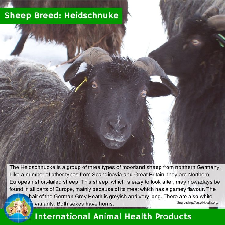 The Heidschnucke is a group of three types of moorland sheep from northern Germany. Like a number of other types from Scandinavia and Great Britain, they are Northern European short-tailed sheep. #heidschnuke #heidschnukesheep #sheep #ram #ewe #lamb #sheepbreed #breed #facts #green #iah #iahp #internationalanimalhealth #poultry #animal #facts #breeds #livamol #protexin