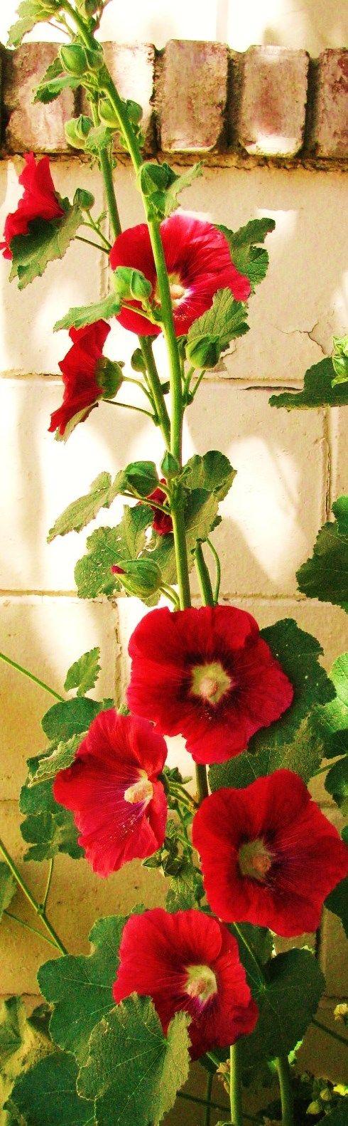 photo: beautiful red hollyhocks against cream colored bricks ...
