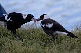 Image result for magpies