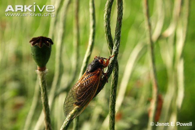 cassini periodical cicadas -#main