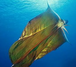 Blanket Octopus - named because of the long transparent webs that connect the dorsal and dorsolateral arms of the adult females. The other arms are much shorter and lack webbing.
