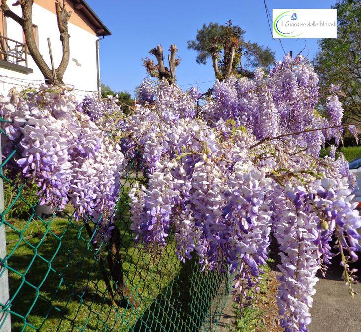 Le giornate tiepide di Aprile sono sature della prepotente fragranza dei Glicini , le loro masse fiorite come acquerelli dipingono le faccia...