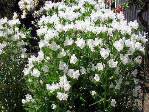 Heirloom 250 Seeds Echium vulgare Vipers Bugloss by seedsshop