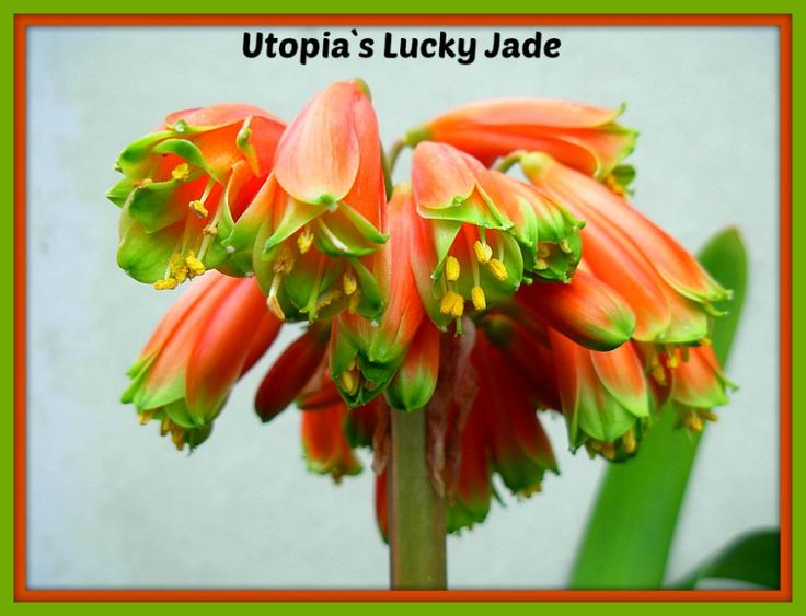Utopia`s Lucky Jade a multi petal robusta