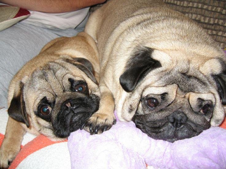 Pug Puppies Cost In Vijayawada Ideas