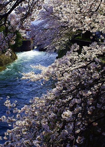 Kyoto, Japan (京都疎水の桜)