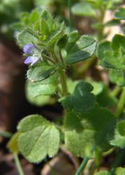 Speedwell is considered to be diuretic, expectorant, stomachic, tonic.  Speedwell was once a highly regarded in England as a healthy, relaxing, herbal tea and tonic. As with most astringent, bitter herbs, an infusion of speedwell can be used as a wash for troubled skin. Recent studies have shown Speedwell tea may be an effective preventative treatment for ulcers. It is most often used been used for coughs and congestion.