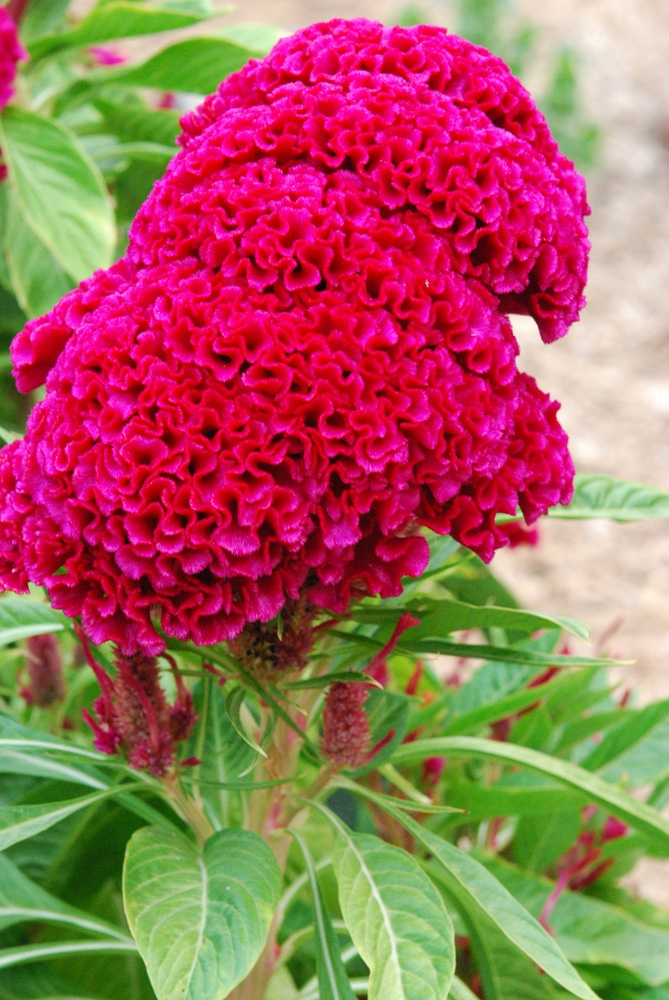 17 best Celosia Roja images on Pinterest Red Cut flowers and Red