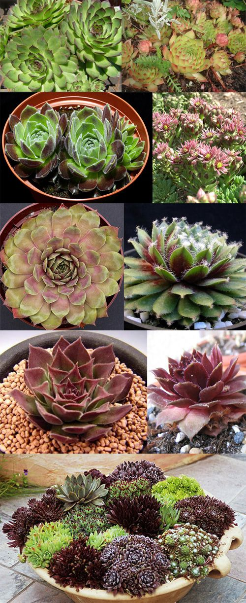 HOUSEPLANTS :: Hens & Chicks (Sempervivum sp.) are hardy succulents that can thrive in indoor temps. CARE: Use broad flat bowls. Spr/Sum: 65-80 deg. w/ high-phosphorus fert. 2x/wk; Aut/Win: 65-75 deg. w/ reg strength fert. Yr-round bright light w/ occasional direct sunlight in summer (More sunlight brings out the red color), use cactus/succulent soil or add sand (& gravel, even) to regular soil for drainage & to mimic natural habitat. Keep soil slightly moist. Let dry btwn watering in…