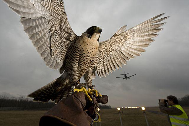 Vadászsólyom, 1180 Budapest, Ferihegy 1. A világ repülőterein sokfelé alkalmaznak vadászsólymokat a madarak elriasztására
