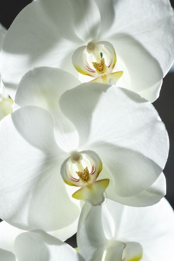 White Orchid . I have five of these plants they spend all winter on my kitchen windowsill and all summer to early autumn flowering their beautiful little hearts out saving me a fortune on cut flowers. Divine..!!!!