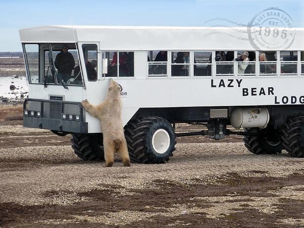 Canada selvaggio: in treno dagli orsi polari http://www.piccolini.it/post/503/canada-selvaggio-in-treno-dagli-orsi-polari/