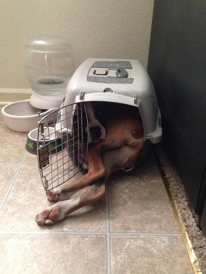 12 Dogs Who Don't Fully Understand Their Size