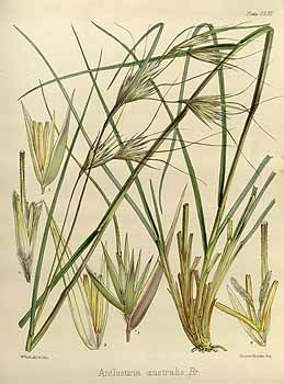 Themeda triandra - Poaceae - Kangaroo Grass.  A clump-forming perennial grass, native to SE Australia.  Used for ecological plantings as well as accent in gardens.  Moderately good drought and compaction tolerance.