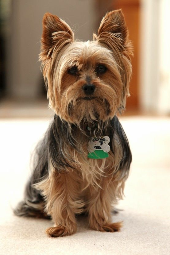 Yorkshire Terrier Hair and Coat