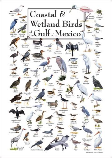 Louisiana Bird Identification Chart | click image to view larger tell a friend coastal wetland birds of