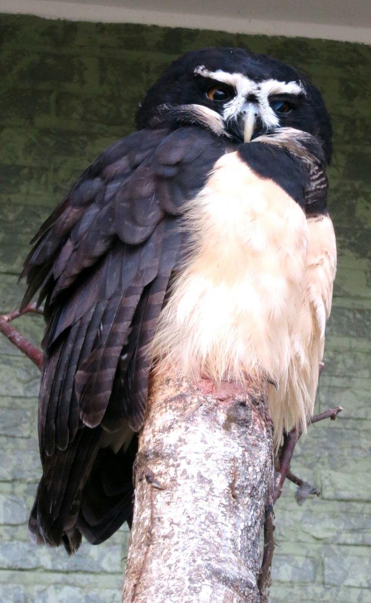 Een briluil. Genomen in Antwerpen zoo  A spectacled owl. Taken in Antwerpen zoo  Taken with: Canon Powershot S110