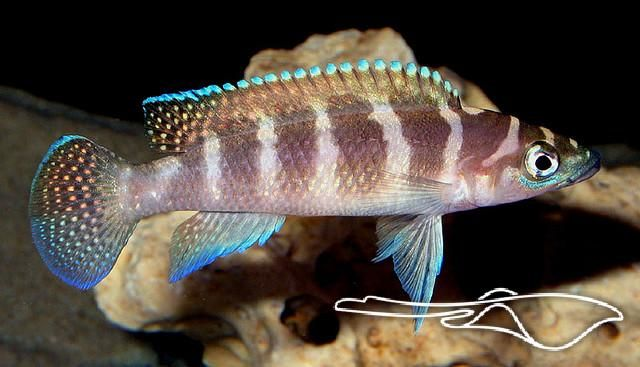 Neolamprologus Cylindricus 17 Best images ...