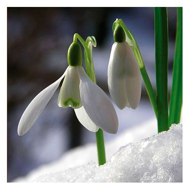 Snowdrops or Galanthus a bulb planted in fall in large drifts for best effect