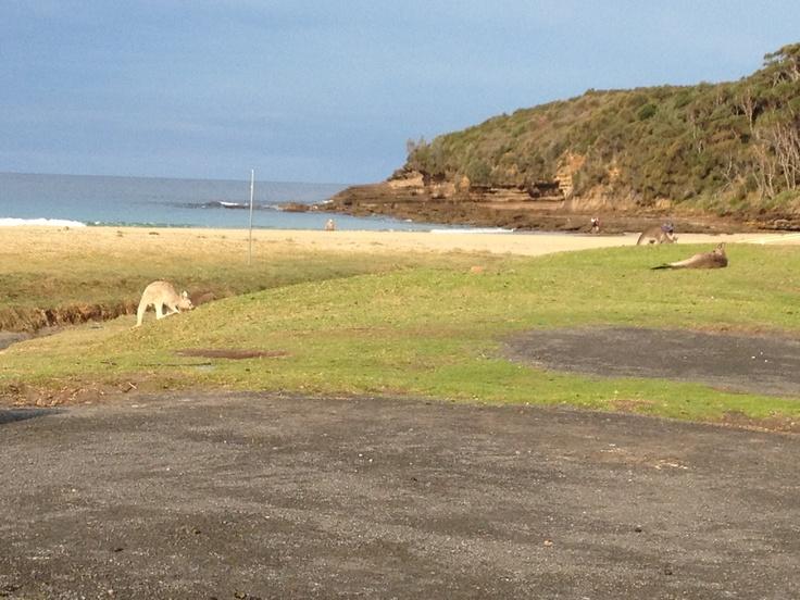 Albino Kangaroo Merry Beach, South Coast NSW Australia
