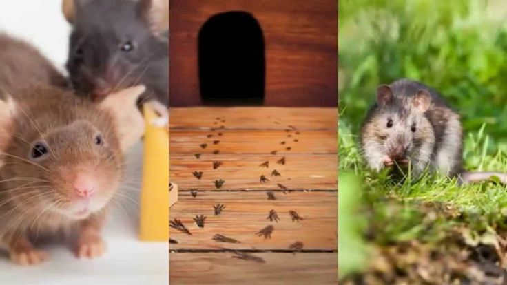 Pest Control Forney TX 75126 Rodent Control