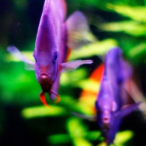 Purple Discus Fish...