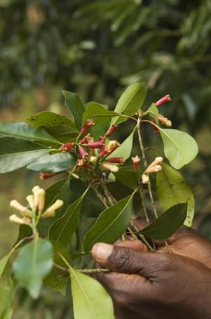 """""""Cloves were introduced to Zanzibar from the end of the 18th century from the French colonies of the Seychelles, Ile de France (now Mauritius) and Réunion and have become the most important crop on the islands."""" Zanzibar: the Bradt Travel Guide; www.bradtguides.com"""