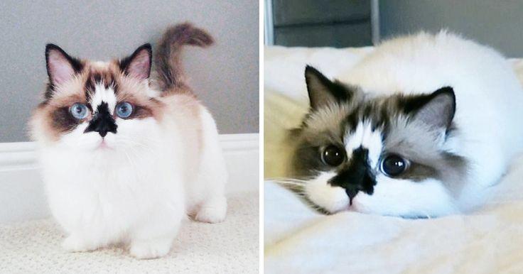 Voici Albert, un chat munchkin célèbre sur Instagram avec de magnifiques yeux bleus et un tempérament adorable.