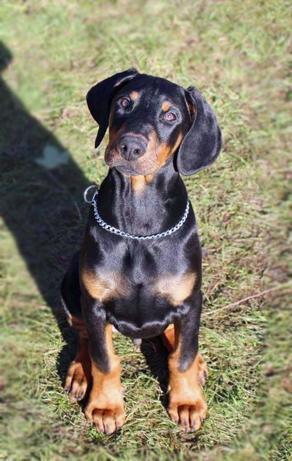 A Gorgeous Doberman Pinscher Puppy Dog Look At Those Paws This
