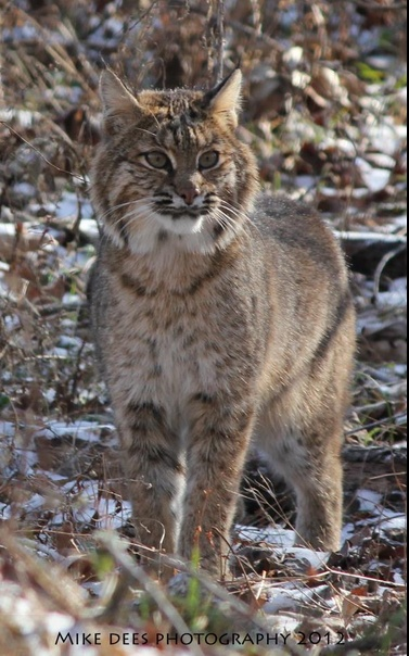 17 Best images about Lynx rufus on Pinterest   Bobs ...