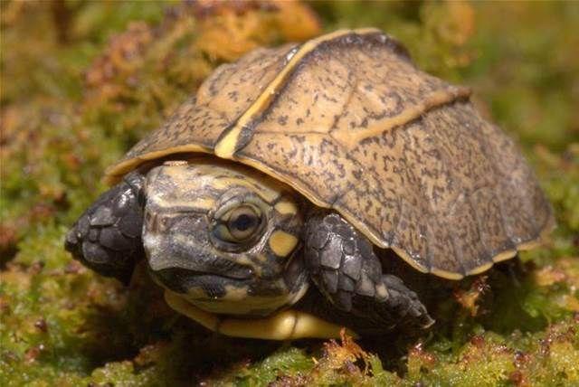 endangered turtles - Bing Images