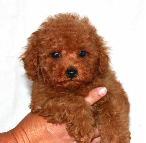 Make sure your groomer is skilled in hand fluff drying – This is a key component in the teddy bear cut process. By getting all of the curl out of the fur, ...