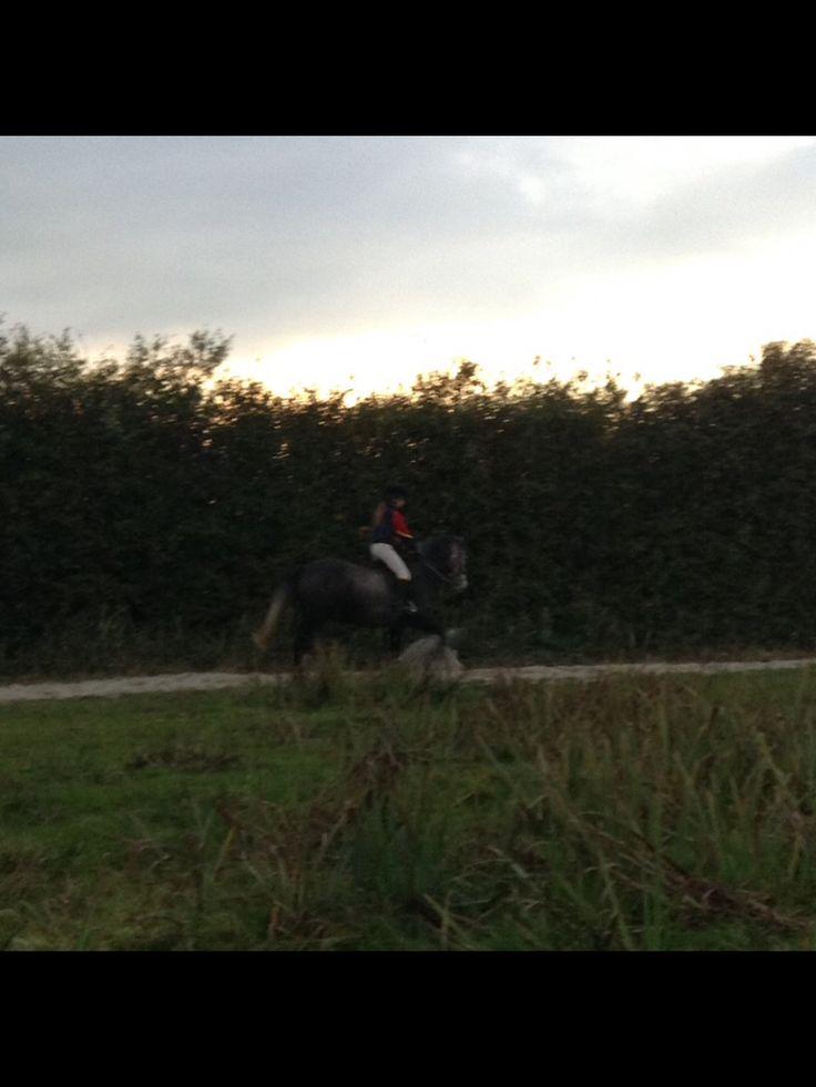 Merlin  5yo 14.2hh Connemara pony