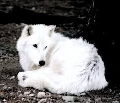 female wolves - Google Search