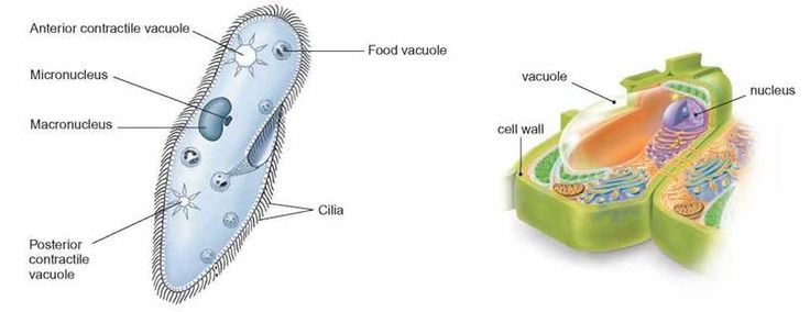 organelles composed of membranes cell structure and on cell wall function id=30888
