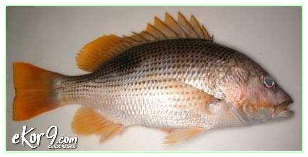 5 Jenis Ikan Kakap Budidaya dan Gambarnya
