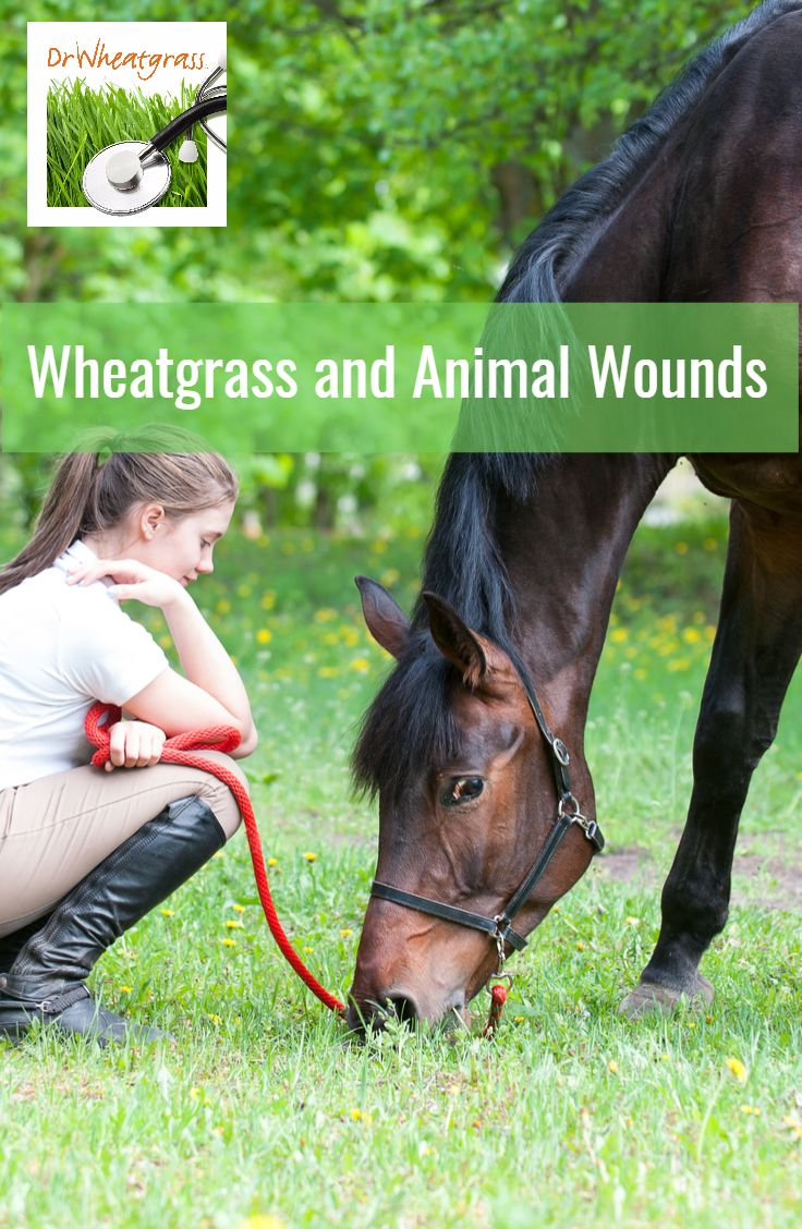 See how #Wheatgrass rapidly heals infected horse wounds