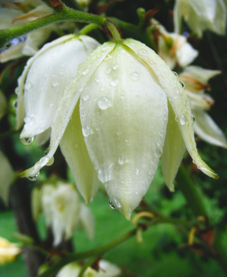 Flor de Izote, Flor nacional de El Salvador. El Salvador