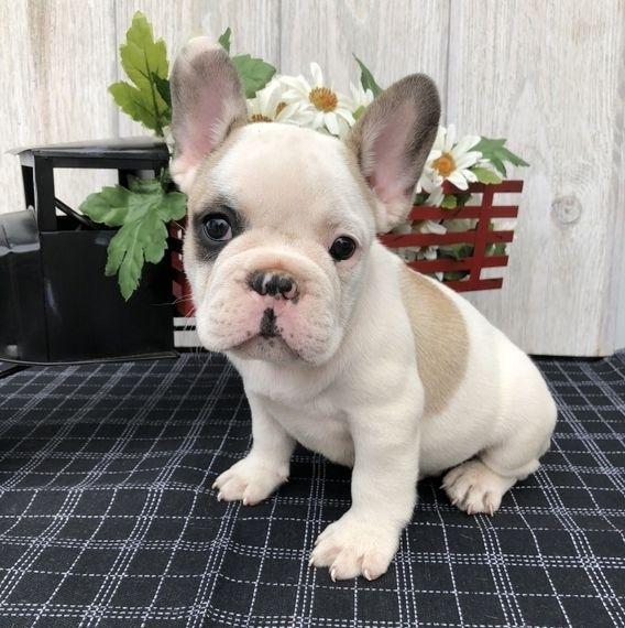 Spot French Bulldog Puppy Puppyspot 844 240 3119 French