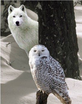 wolf and owl                                                                                                                                                      More