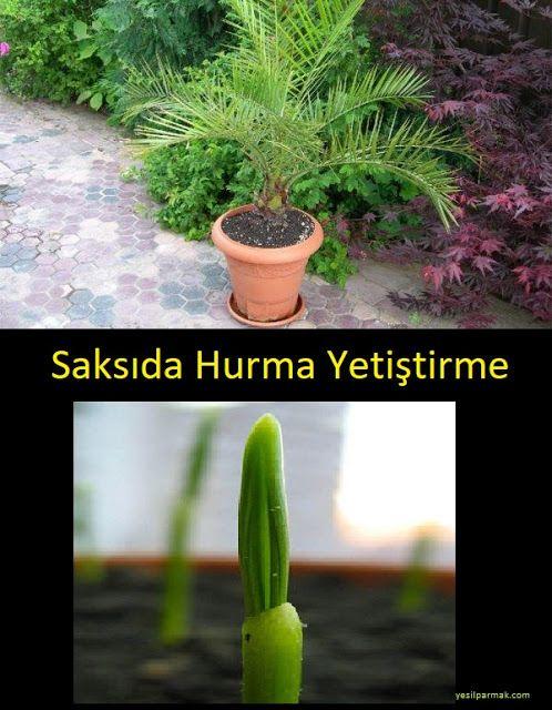 Evinizde Saksıda Hurma Ağacı Yetiştirebilirsiniz ~ Yeşil Parmak