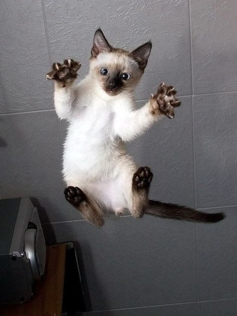 Siamese cats (95 pictures) (1)                                                                                                                                                      More
