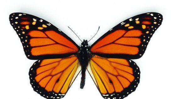 Monarca, il segreto delle farfalle migratrici